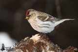 Adult male Common Redpoll in winter plumage