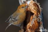Adult female Pine Grosbeak