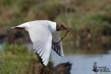 Adult Black-headed Gull in breeding plumage