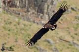 Immature Cinereous Vulture