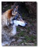 Le Temps du Loup - Nov. 2007 - Wolf