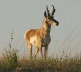 Pronghorn; buck