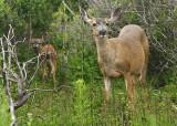 Mule Deer; fawn and doe