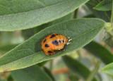 Hippodamia convergens; Convergent Lady Beetle pupa