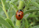 Coccinella septempunctata; Seven-spotted Lady Beetle; exotic