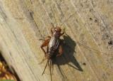 Allonemobius Ground Cricket species