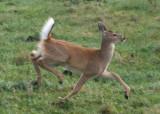 White-tailed Deer; doe