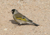 Lawrence's Goldfinch; male