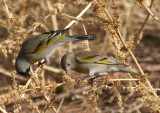Lawrence's Goldfinch pair