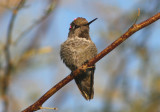 Anna's Hummingbird; immature male