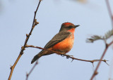 Vermilion Flycatcher; immature male