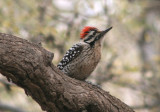Ladder-backed Woodpecker; male