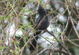 Phainopepla; immature male