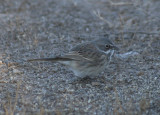 Sagebrush Sparrow