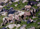 Bighorn Sheep; ewes
