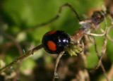 Chilocorus stigma; Twice-stabbed Lady Beetle
