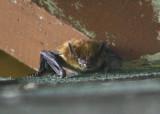 Evening Bat