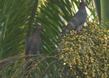 Scaly-naped Pigeons