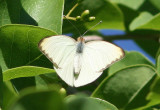 Great Southern White; male
