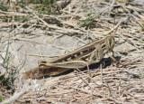 Schistocerca americana; American Bird Grasshopper