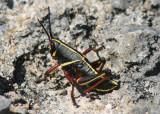 Romalea microptera; Eastern Lubber Grasshopper; immature