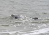 Common Bottlenosed Dolphin