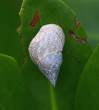 Angulate Periwinkle