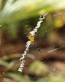 Hawaiian Garden Spider, Argiope appensa (Araneidae)