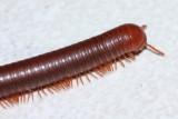 Rusty Millipede, Trigoniulus corallinus (Trigoniulidae)