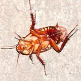 Pycnoscelus sp. (Blaberidae)
