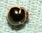Black Stink Bug, Coptosoma xanthogramma (Plataspidae)