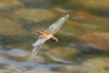 Wandering Glider, Pantala flavescens (Libellulidae)