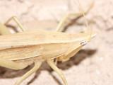 Conehead, Neoconocephalus cf. (Tettigoniidae)