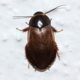 Burrowing Cockroach, Pycnoscelus surinamensis (Blaberidae)