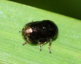 Spittlebug, Clastoptera xanthocephala (Clastopteridae)