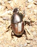 Dung Beetle, Onthophagus sp. (Scarabaeidae)