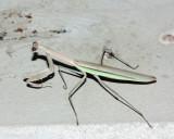 Chinese mantis, Tenodera aridifolia sinensis (Mantidae)