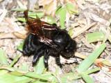 Sonoran Carpenter Bee, Xylocopa sonorina (Apidae)