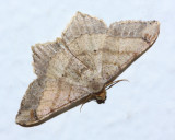 Koa haole Moth, Macaria abydata (Geometridae)