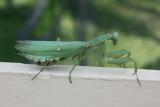 Giant Asian Mantis, Hierodula patellifera (Mantidae)