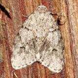 Hodges#8098.2 Clemensia umbrata