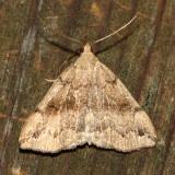 Dark Phalaenostola, Hodges#8363 Phalaenostola eumelusalis