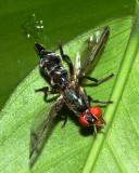 Signal Fly, Senopterina sp. (Platystomatidae)
