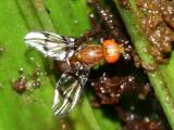 Richardiid Fly, Epiplatea sp. (Richardiidae: Epiplateinae)