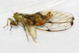 Alien! Parasitic Flesh Fly (Sarcophagidae)