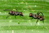 Stilt-legged Flies, Plocoscelus sp. (Micropezidae)