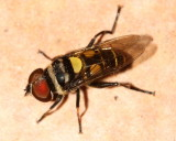 Flower Fly, Palpada sp. (Syrphidae: Eristalinae)