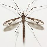 Crane Fly, Ozodicera sp. (Tipulidae: Tipulinae)
