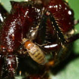 Bullet Ant Parasitoid, Apocephalus paraponerae complex (Phoridae)