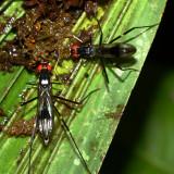 Stilt-legged Fly, Ptilosphen sp. (Micropezidae)